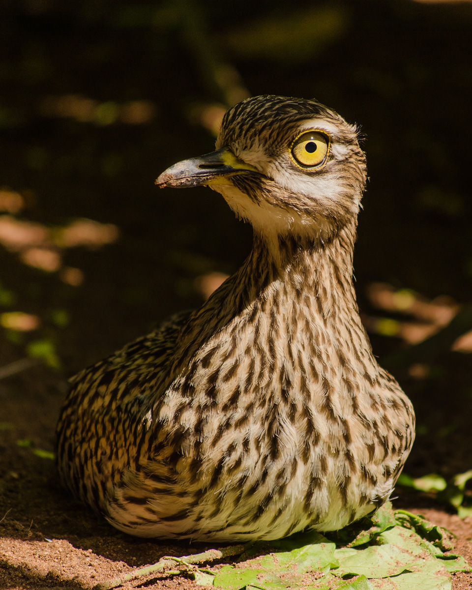 thick-knee-1200