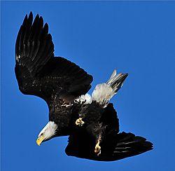 Ke_-_Bald_Eagle_-_Conowingo_Dam_-_11-25-11.JPG