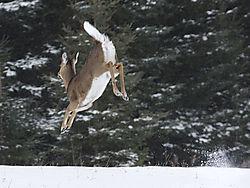 2013-02-03_leaping_deer_D7M0631.jpg