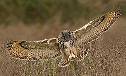 Eagle_Owl_7_.jpg