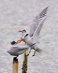 Royal_Terns_Fighting.jpg