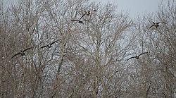 DSC9747_-_Geese_Landing_Cropped.jpg