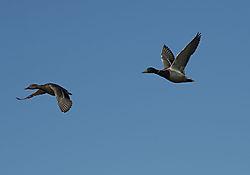 DSC_9185_-_Two_Ducks.jpg