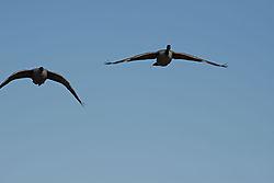 DSC_9231_-_Two_Geese_-_Better.jpg