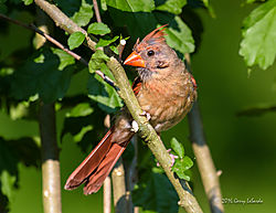 Female_Cardinal_20160712_200.jpg