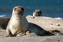 Multiple_Young_Elephant_Seals_-_small.jpg