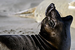 Young_Male_Elephant_Seal_-_small.jpg