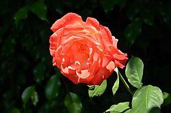 Rose_w:60mmnner_1jpeg_1sm.JPG