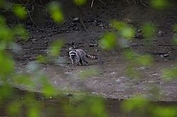 DSC_0248-raccoon-resized.jpg