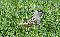 White-Crowned_Sparrow3.JPG