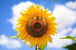 sun_flower-0007.jpg