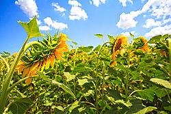 sun_flower-9982-Edit.jpg