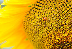 sun_flower-9995.jpg