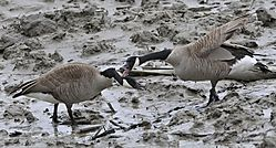 Canada_Geese_1850.jpg