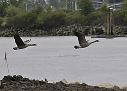 Canada_Geese_on_the_Fraser_1881.jpg