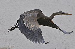 Heron_-_Fraser_River2_1930.jpg