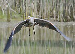 Heron_in_Flight2806.jpg