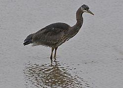 Heron_on_the_Fraser_River_1926.jpg