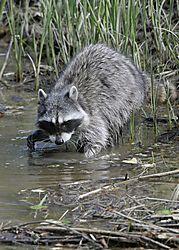 Raccoon_Fraser_River_Park_1688.jpg