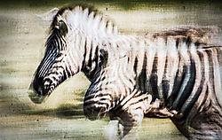 Zebra8.jpg