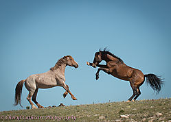 Pryor_Stallions_Facing-7101.jpg