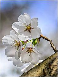 13-04-20_Blossoms_021.jpg