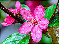 Blossom_after_the_rain.jpg