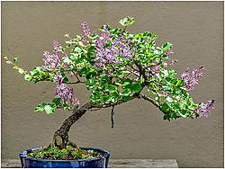 Lilac_Bonsai.jpg