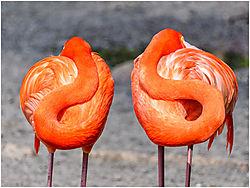 Resting_Flamingos.jpg