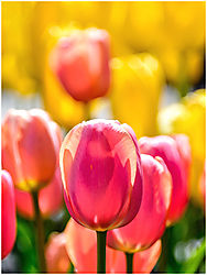 Tulip_Season.jpg