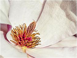 Tulip_Tree_Magnolia.jpg