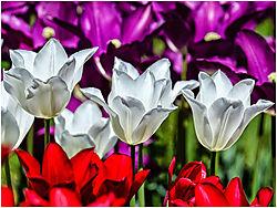 Tulip_Trio_.jpg