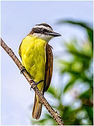 yellow-breasted_kiskadees.jpg