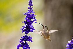 Humming_Birds-7.jpg