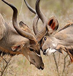 Kudu_Sparring.jpg