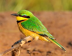 Little_Bee_eater.jpg