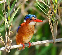 Malachite_Kingfisher.jpg