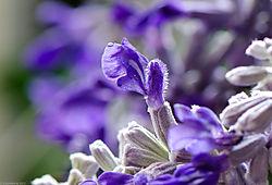 Salvia_4901.jpg