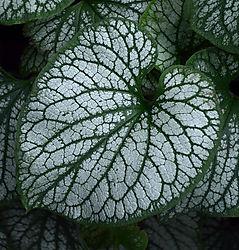 brunnera-leaf.jpg