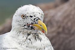 130831_Herring-Gull-mudface-closeup-MNSA_2520.jpg