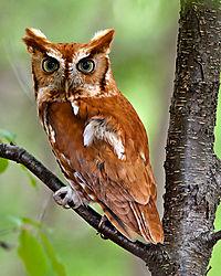 100523_Screech_Owl_8610.jpg