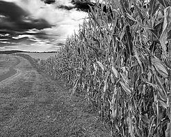 Cornfield_20130918_1.jpg