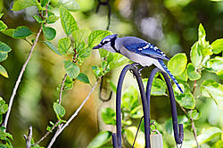 Blue_Jay_1_resized.jpg