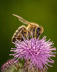 Bee-Thistle-Nikonians.jpg