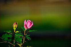First_rose_of_2015_1_of_1_.jpg