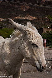 The_Burro_of_Oatman_AZ.jpg