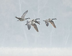 DSC4403_Geese_in_Fog.jpg