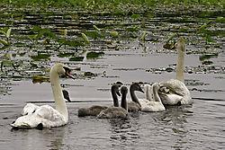 DSC_0140_Swan_Family_from_LR_Skinny_to_Post.jpg