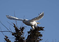 DSC_1071_Snowy_in_Flight_1_Cropped.jpg