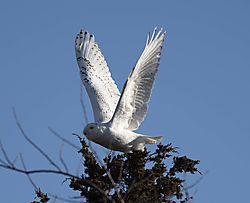 DSC_1072_Snowy_in_Flight_2_Cropped.jpg
